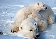 polar_bear_scott_schliebe_usfws.jpg
